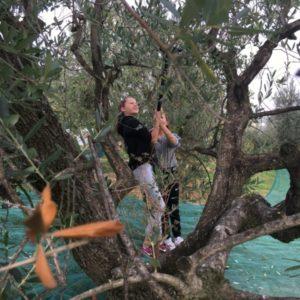 olijvenboom pluk