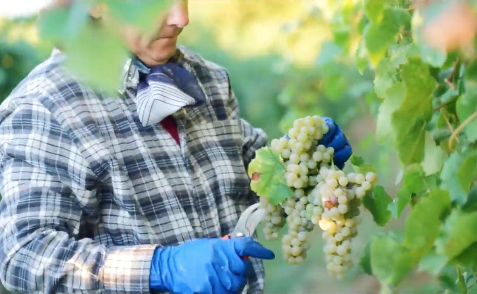 spinelliwijn - wijngaard Italie filmpje